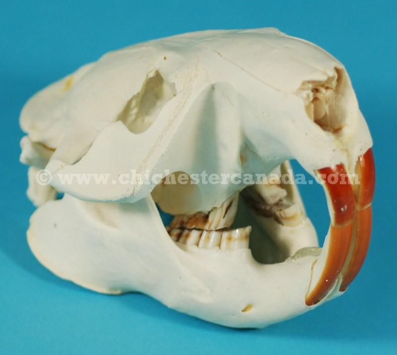 Beaver Skulls