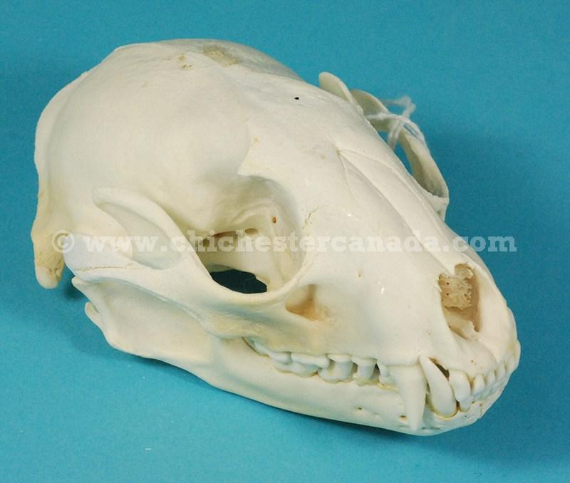 Raccoon Skulls