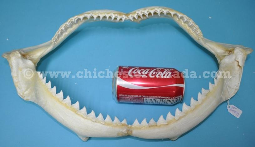 Dusky Shark Jaws