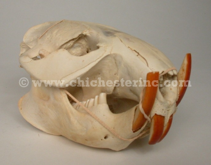 Related Keywords & Suggestions for opossum skull