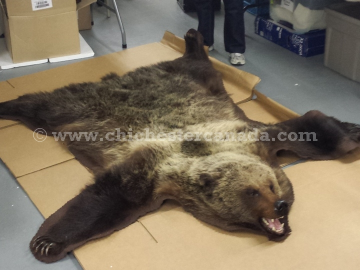 Grizzly Bear Hides Skins