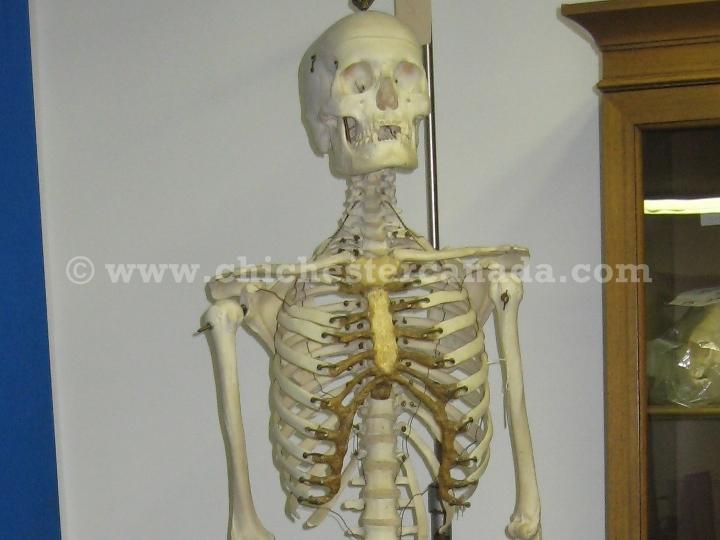 real human skeletons, medical skeletons, Skeleton